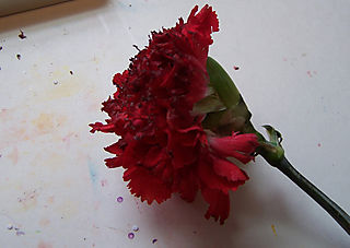 Chalk pouncing carnation